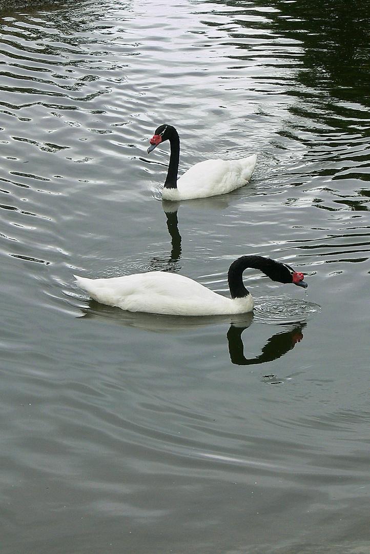 Am Duo-Synchron-Schwimmen üben wir noch ...