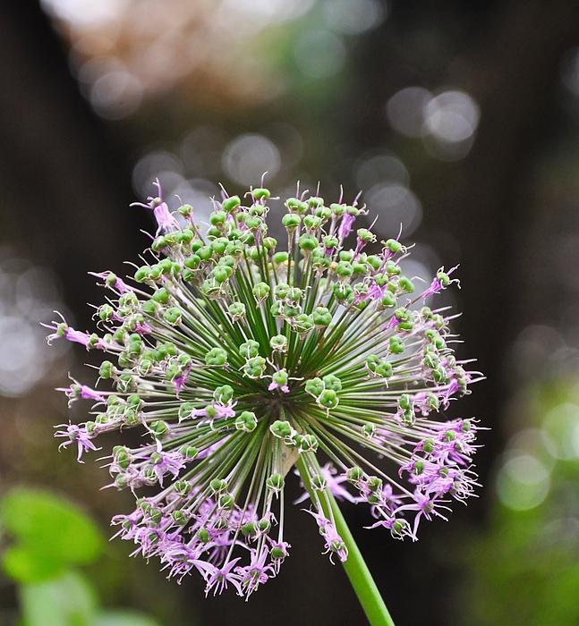 Am Ende der Blütenzeit sind schon die ersten Samen zu sehen