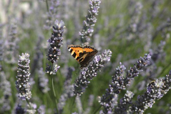 Am Lavendel