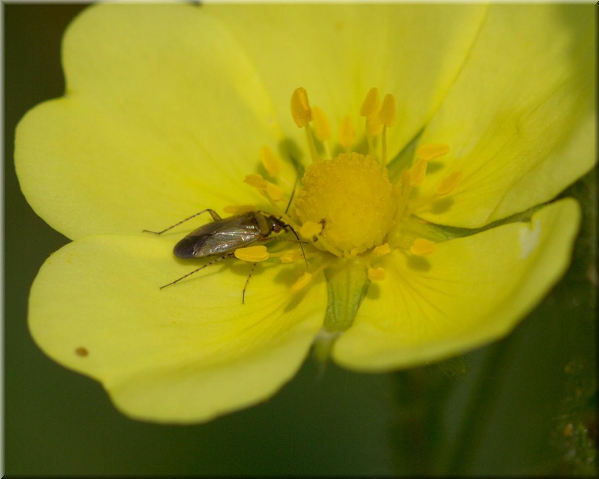 Am Pollen naschen !