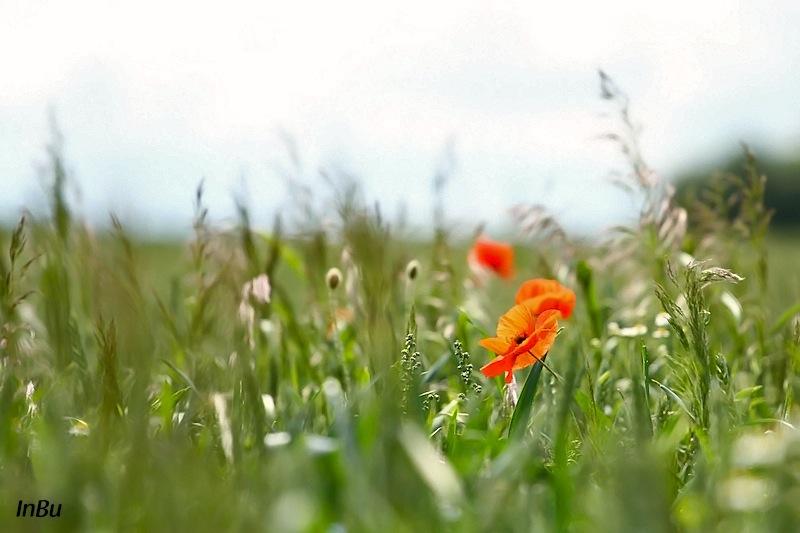 am Rande eines Weizenfeldes