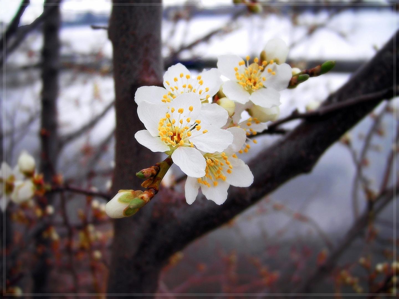 Am Rheinufer - Schlehenblüte