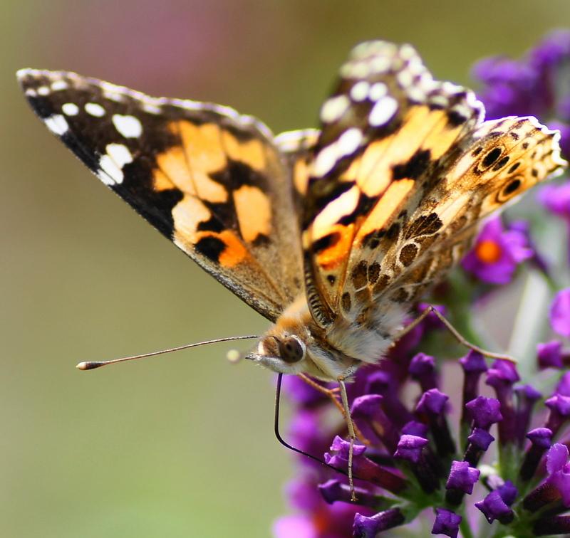 Am Schmetterlingsbaum..