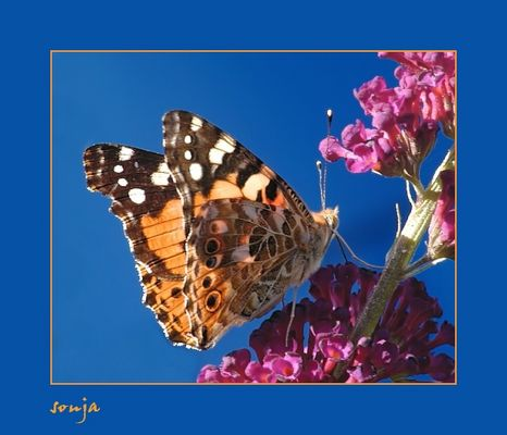 Am Schmetterlingsstrauch