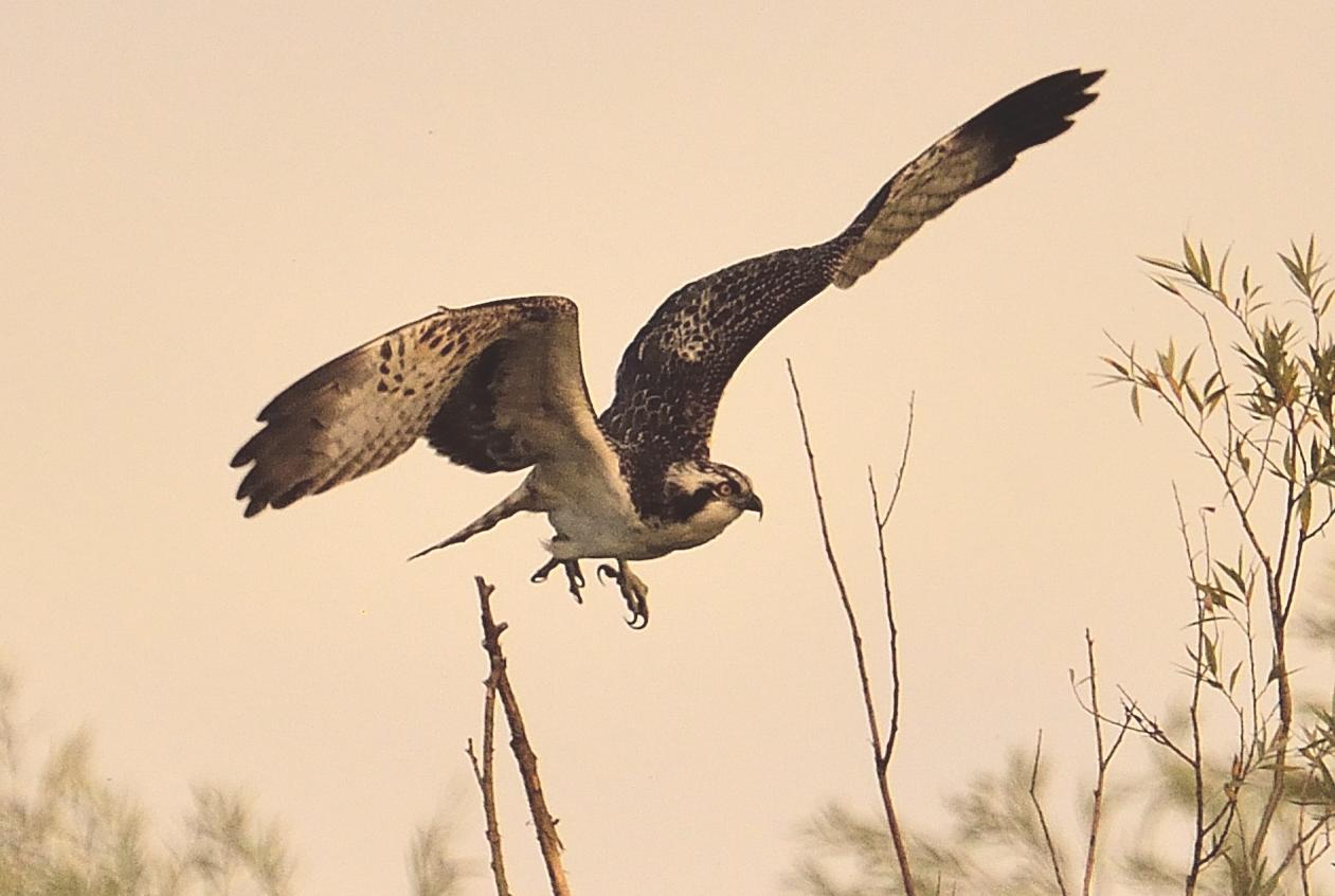 Am späten Abend, in weiter Ferne ein Fischadler!