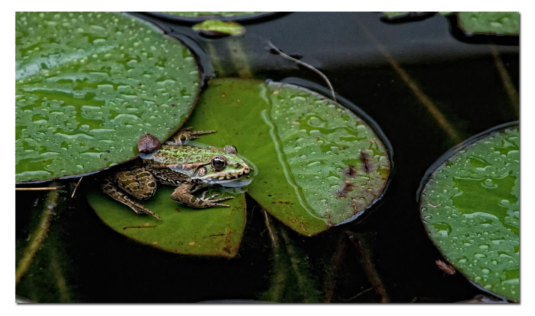 Am Teich - Frosch