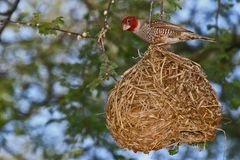 Amadinen sind keine Nestbaukünstler