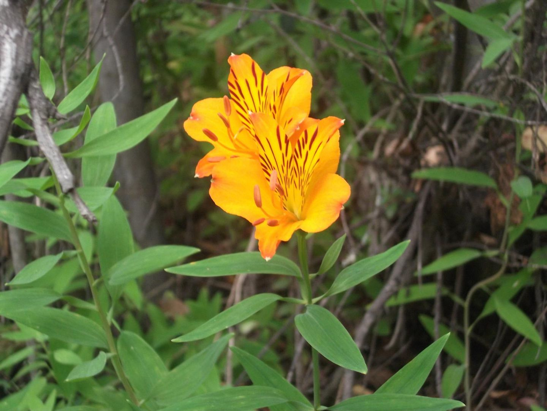 Amancay Flora Andinopatagonica