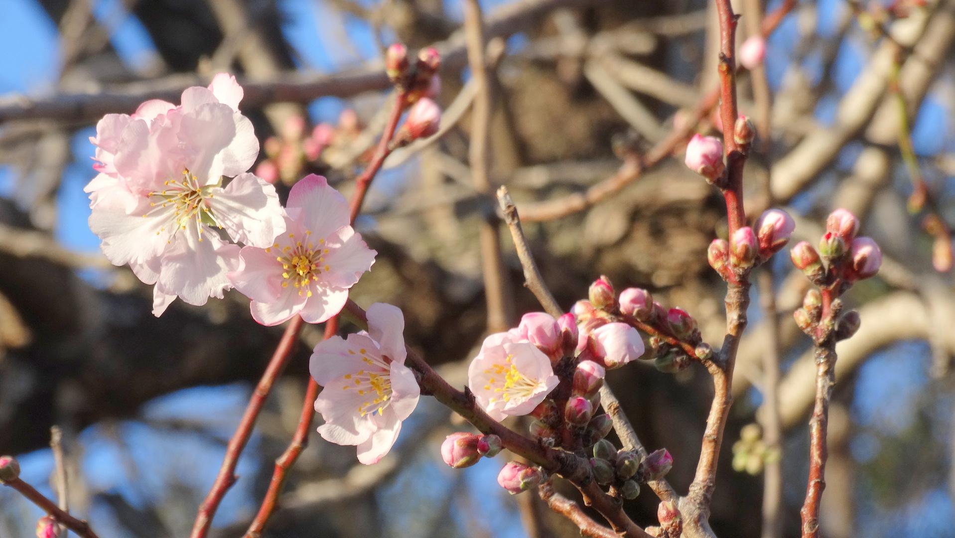 Amandier en fleurs Cap d'Antibes (la Garoupe)