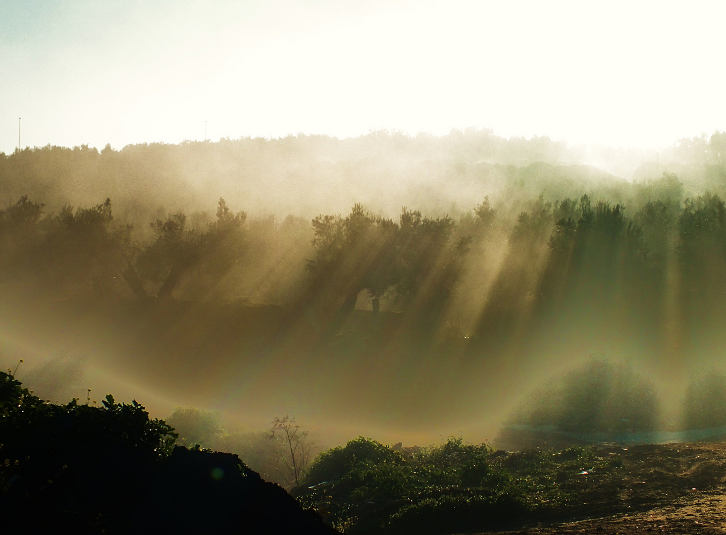Amanecer entre niebla y olivos.