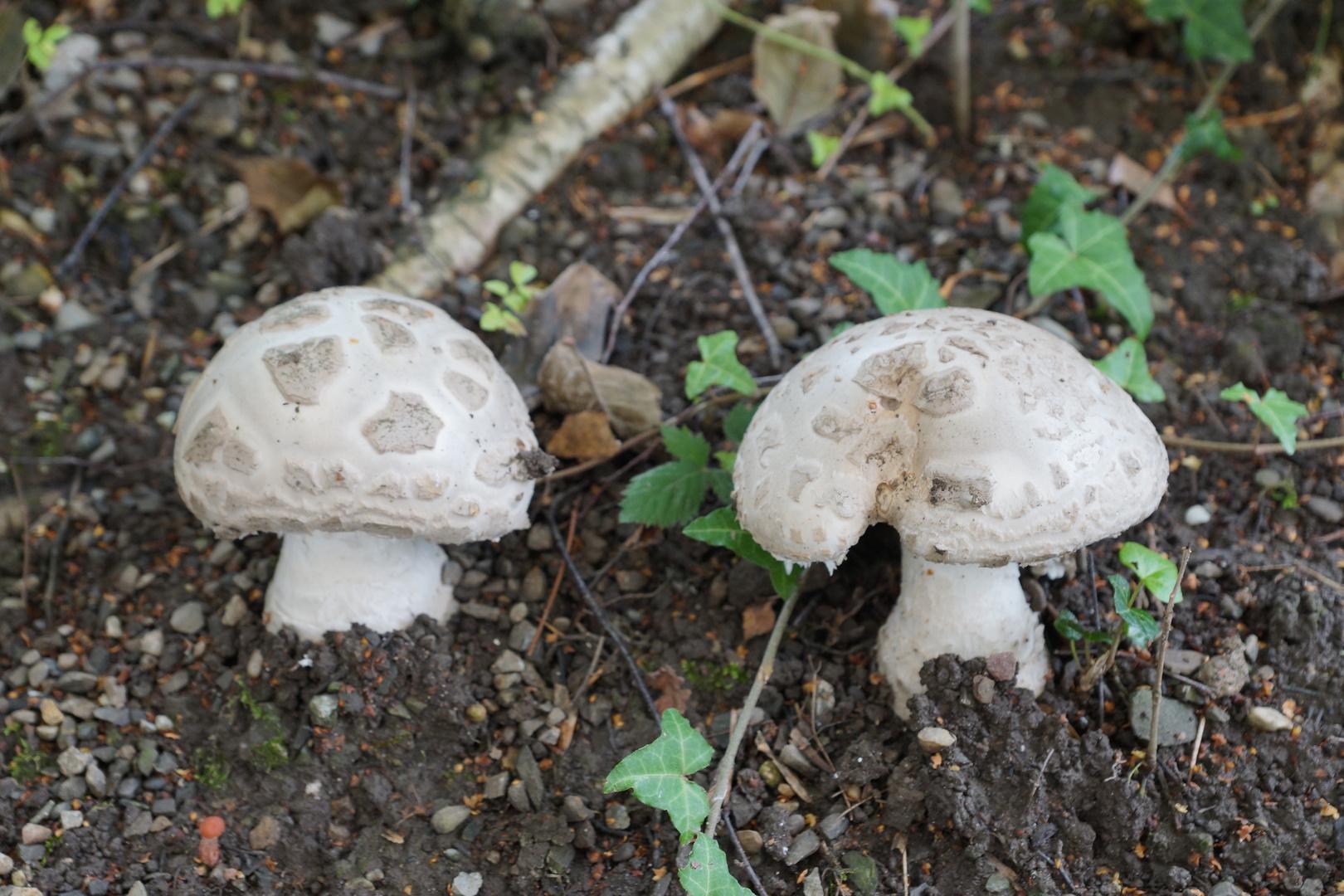 Amanita Strobiliformis, Fransiger wulstling, Einsiedler Wulstling