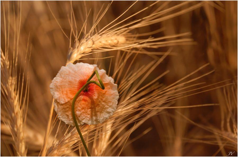 ... amapola en el campo de trigo