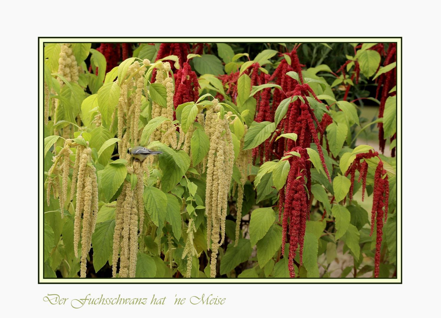 Amaranthus caudatus **** mit Meise