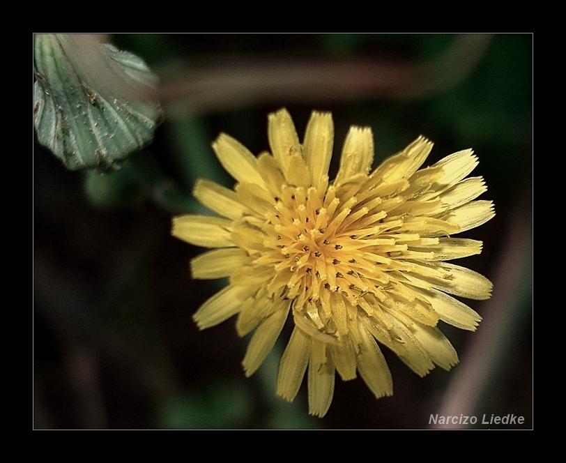 Amarela XI - Radiante