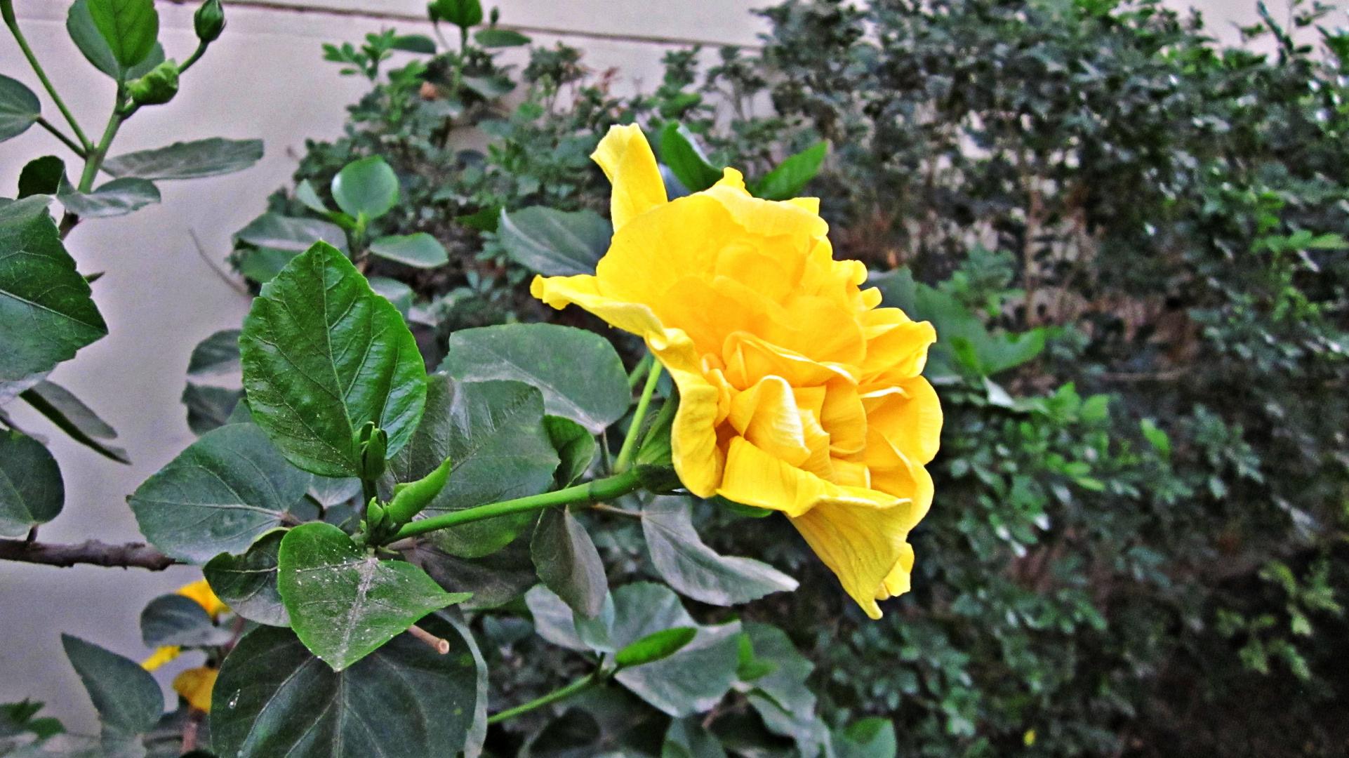 Amarilla 2