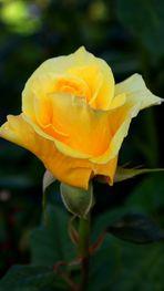 AMARILLOS rosas de mayo