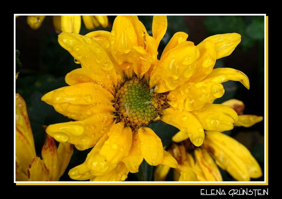 Amarillos y rociados crisantemos