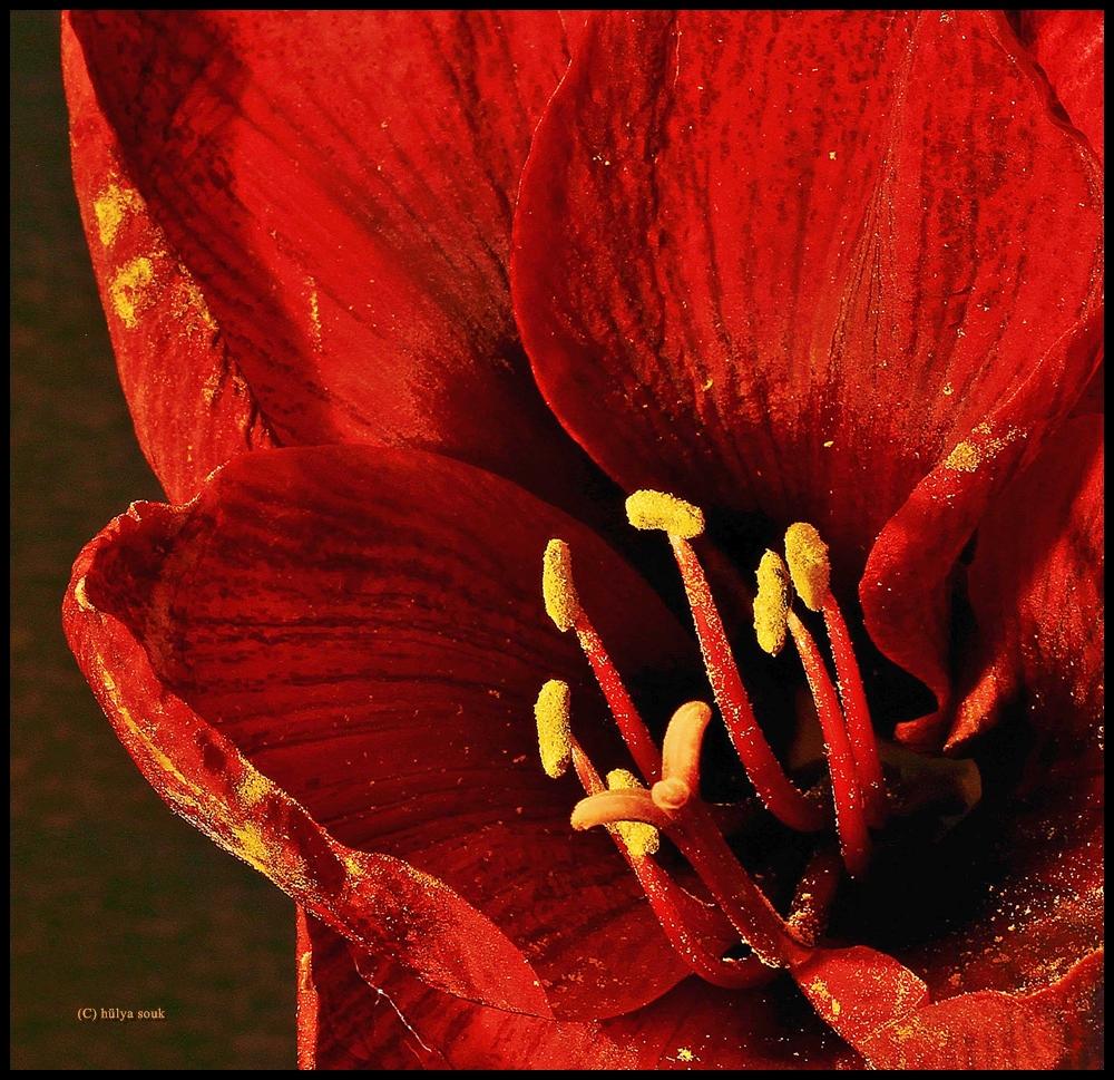 Amaryllis 3 ( Blütenstaub )