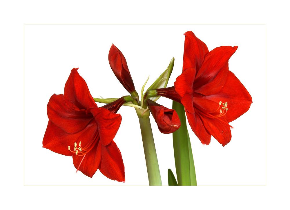 amaryllis foto bild pflanzen pilze flechten bl ten kleinpflanzen gartenpflanzen und. Black Bedroom Furniture Sets. Home Design Ideas