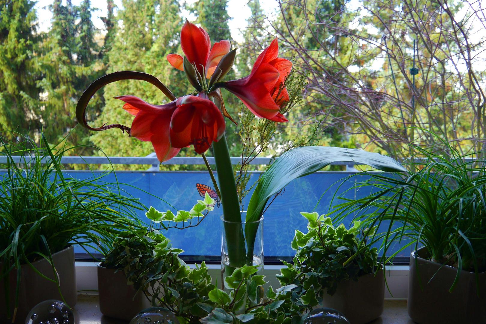 Amaryllis auf der Fensterbank.