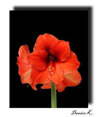 Amaryllis Blüte