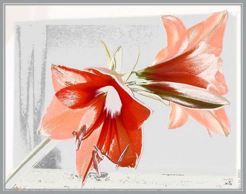 Amaryllis-Blüten
