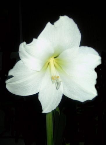 Amaryllis die weiße