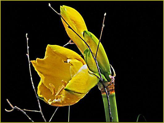 amaryllis gelb