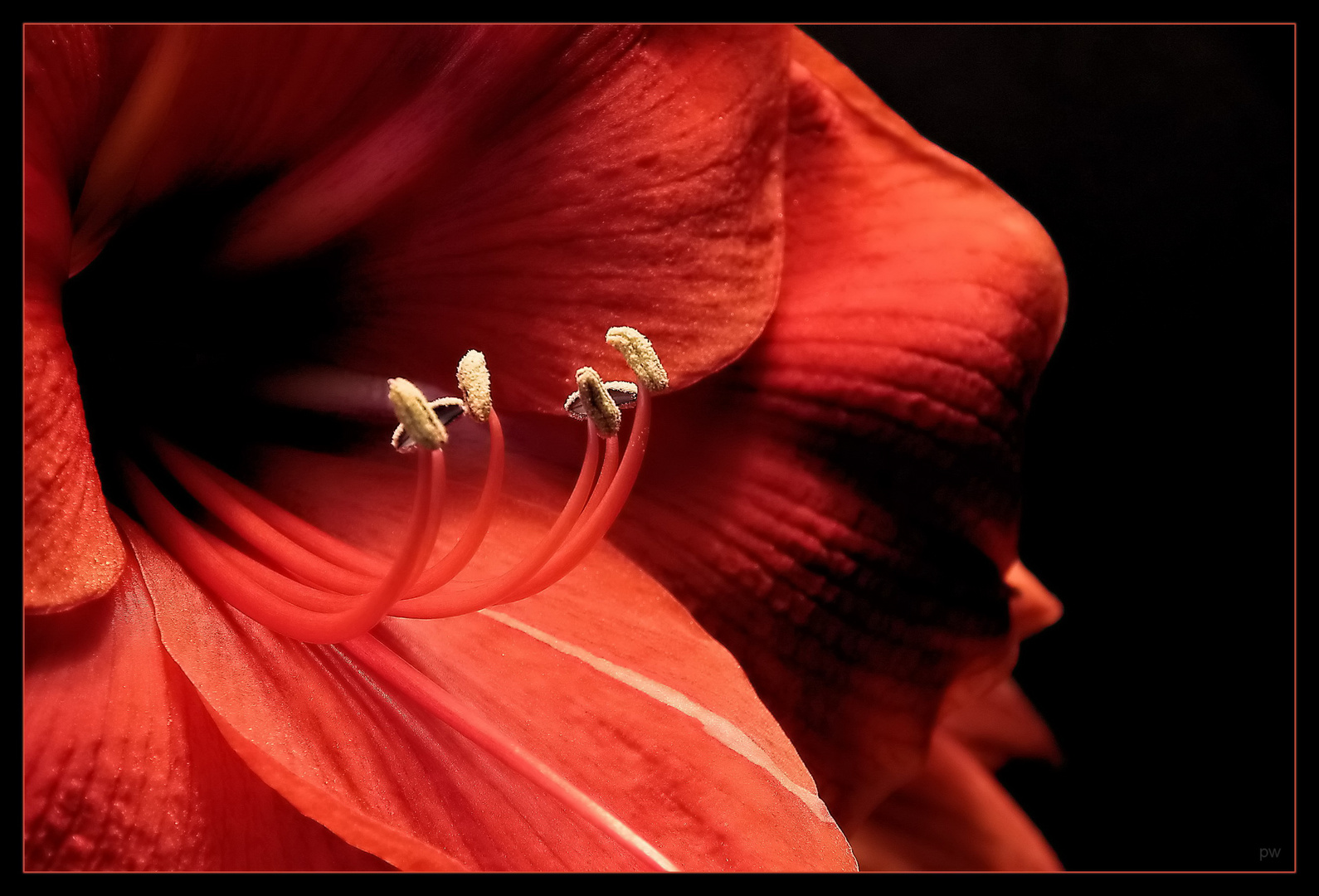 Amaryllis-Red Lion-Detailaufnahme