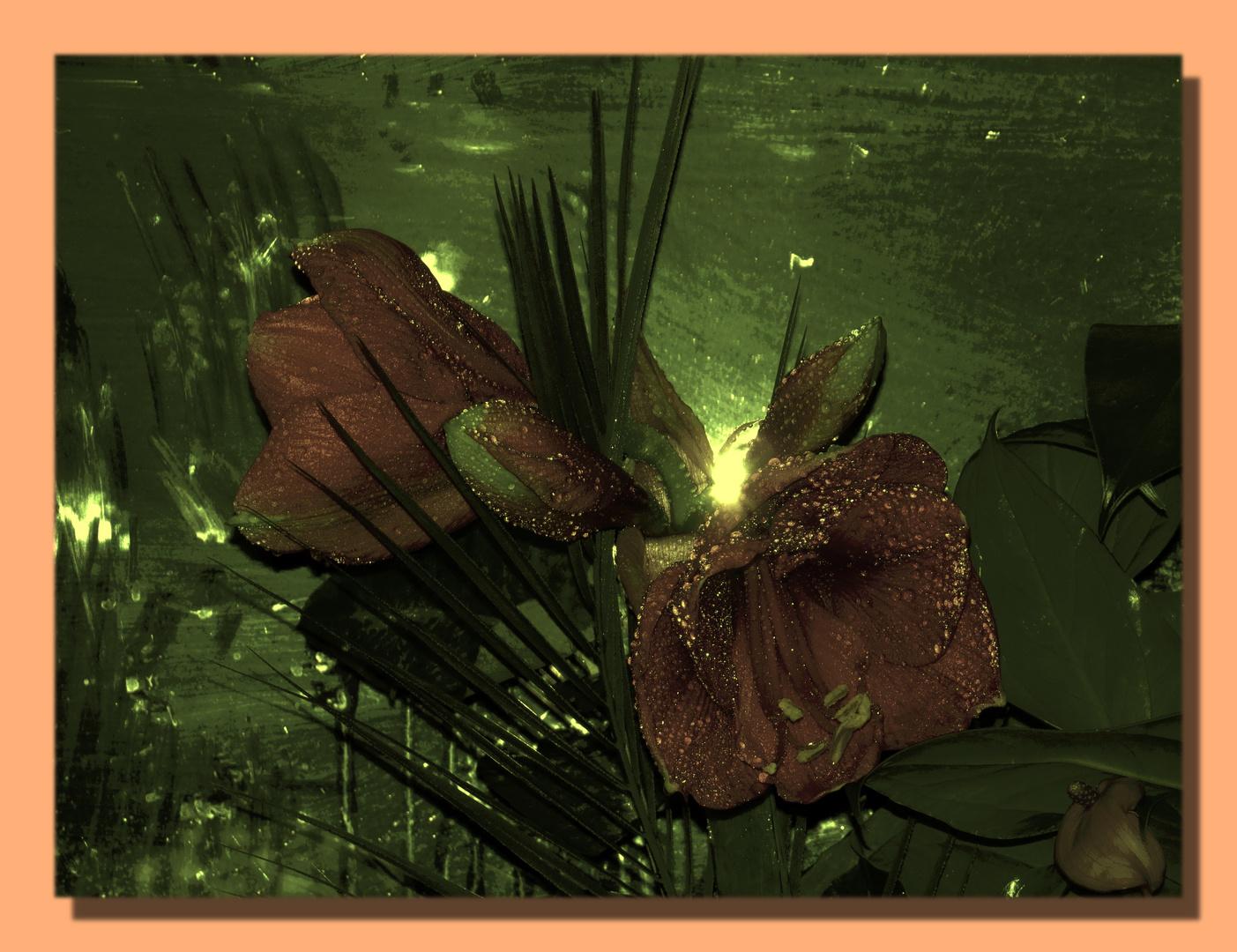 Amaryllis (Ritterstern) am Terrassenfenster,