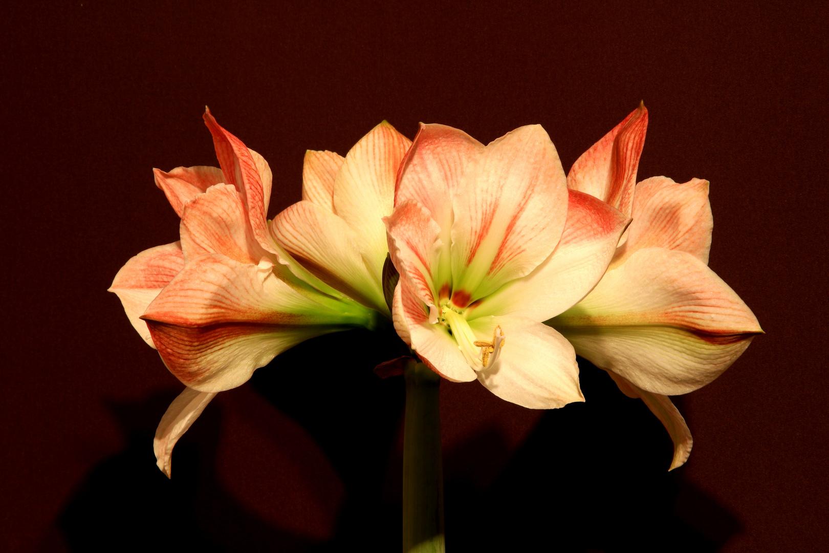 Amaryllis weis-rosa 1