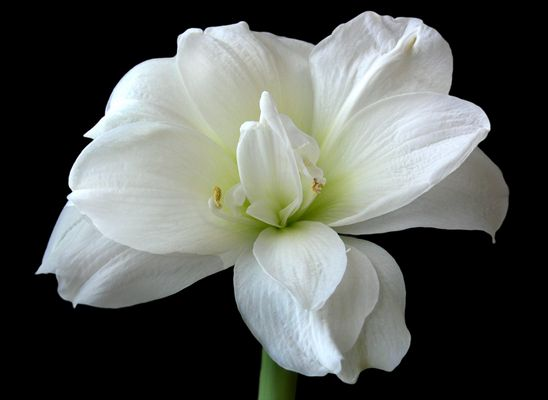 Amaryllisblüte weiß