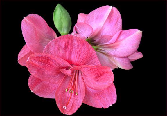 Amaryllisblüten