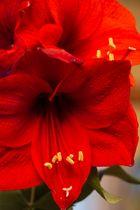 Amayllis-Blüten als kleiner Blumengruß