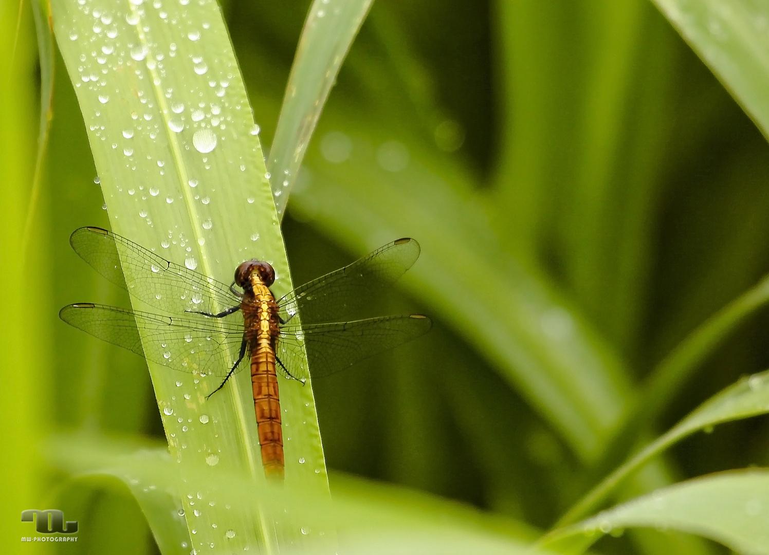 Amazonas Libelle
