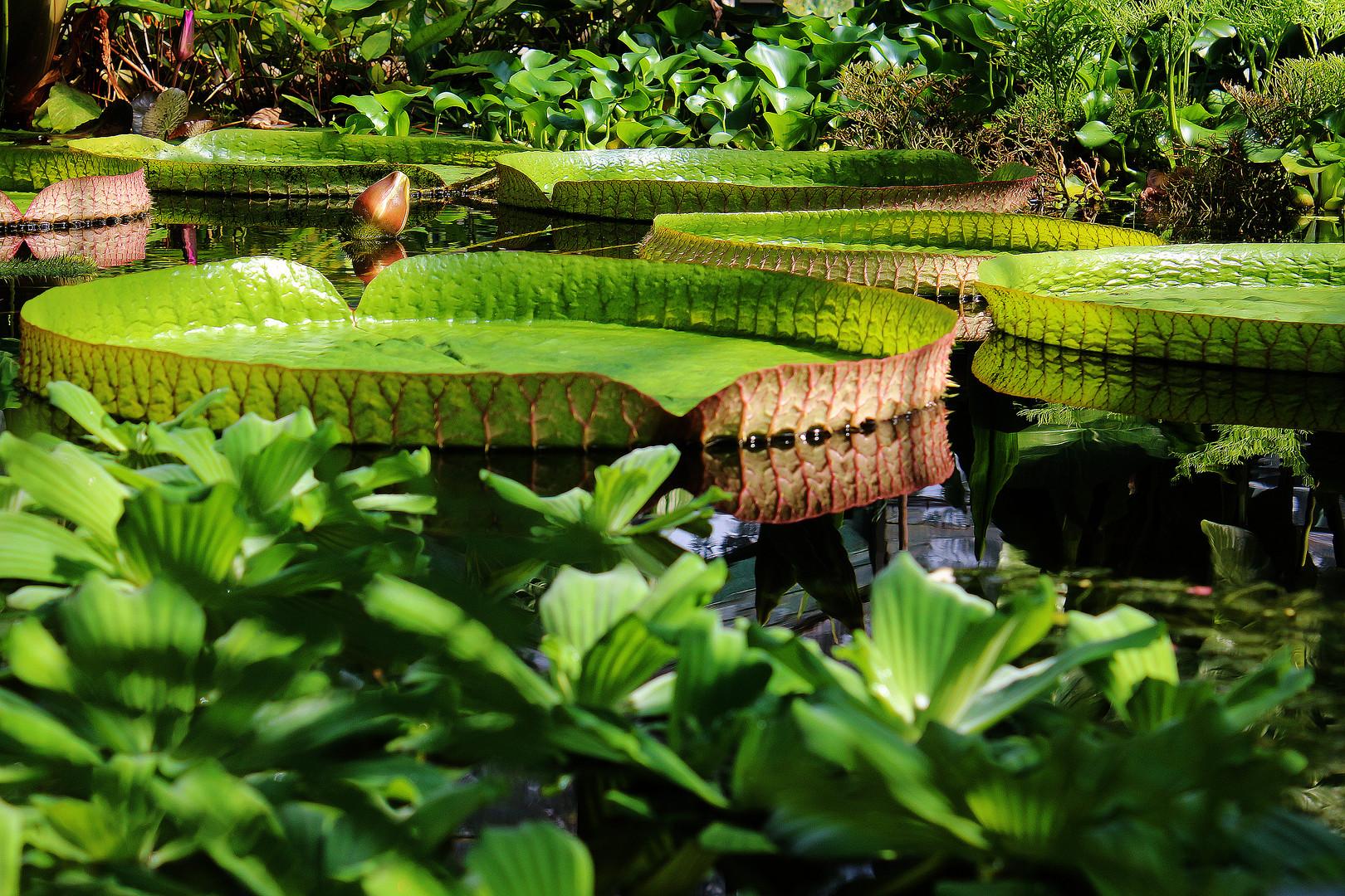 Amazonas-Seerose