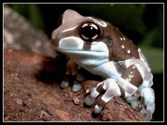Amazonischer Baumhöhlen Krötenlaubfrosch