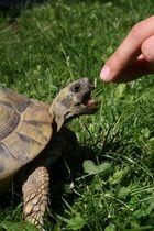 Ambitionen einer Schildkröte