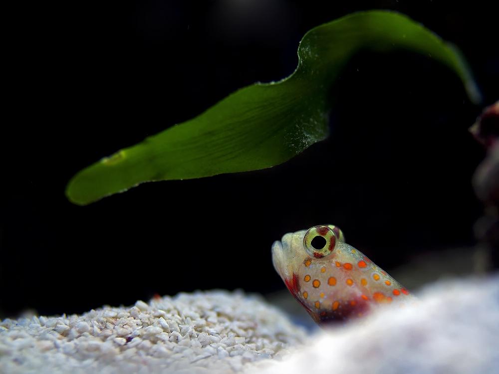 Amblyeleotris guttata