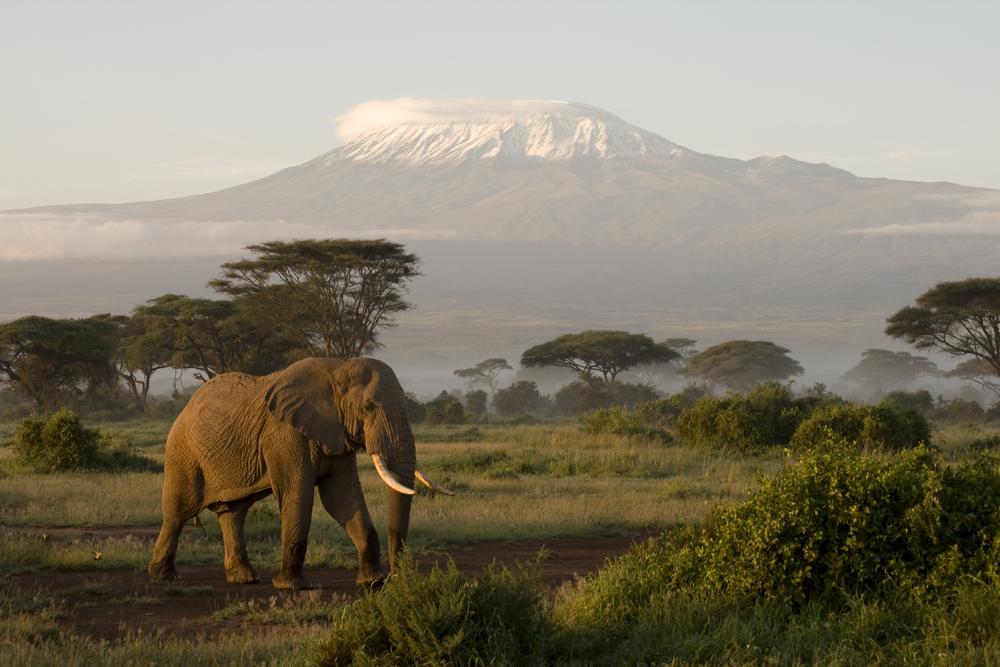 Amboseli National Park: Einsamer Elefant am Kilimandscharo