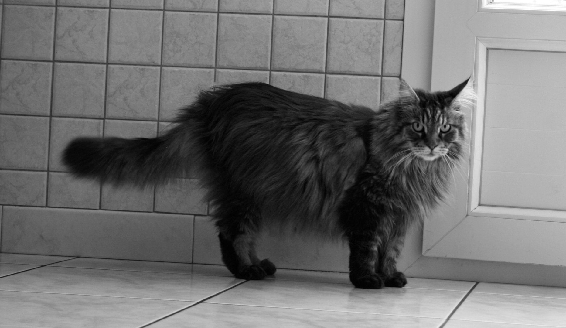 Ambre, mon chat