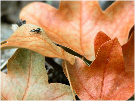 Ameise am Herbstlaub