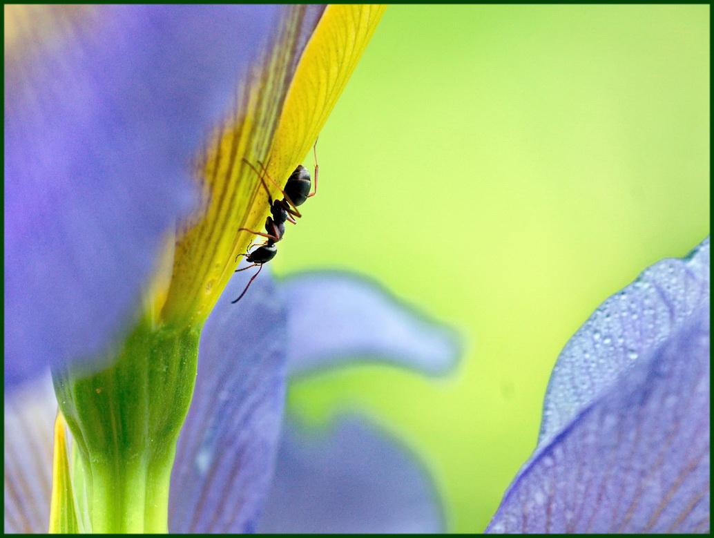 Ameise auf der Irisblüte am frühen München