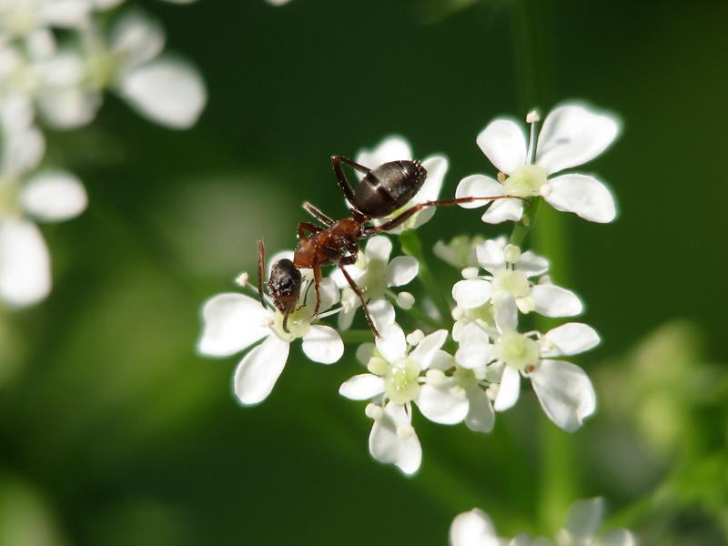 Ameise auf Wiesenkerbel