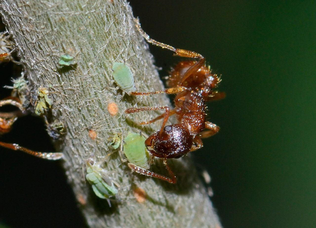 Ameise beim Melken einer Blattlaus