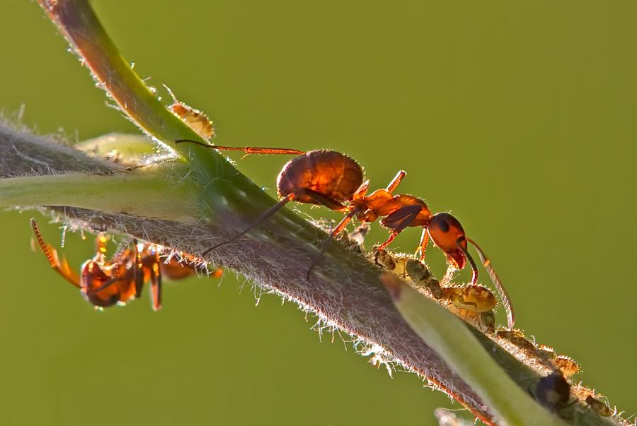 Ameise beim speisen