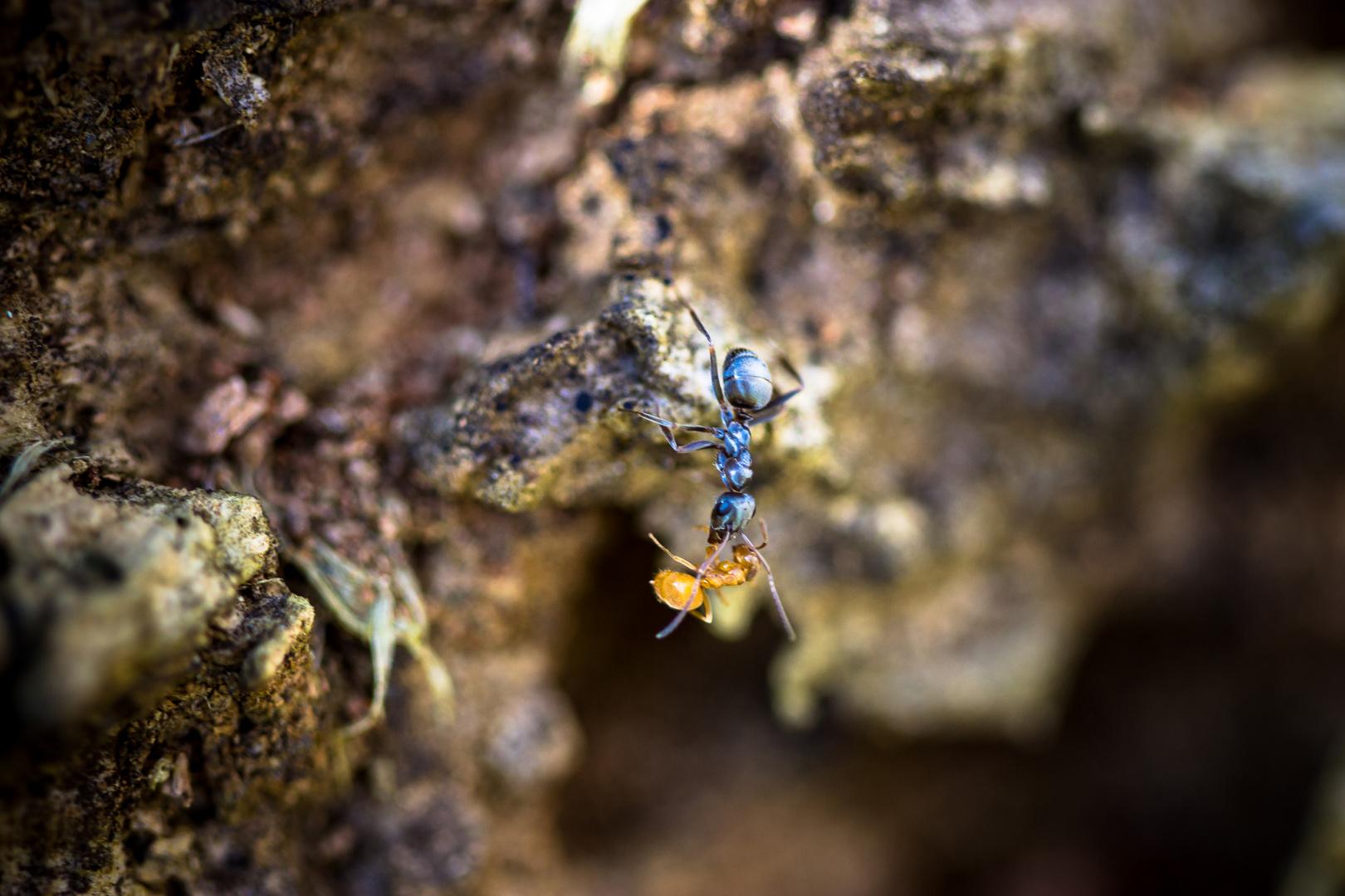 Ameise bringt ihr Kind zur Schule
