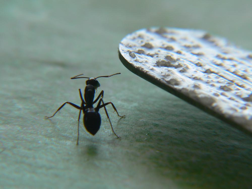 Ameise ganz groß