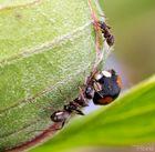 Ameise gegen Marienkäfer