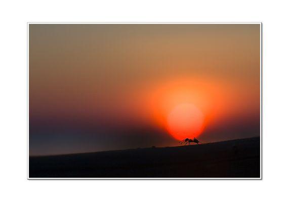 Ameise im bestellten Sonnenuntergang
